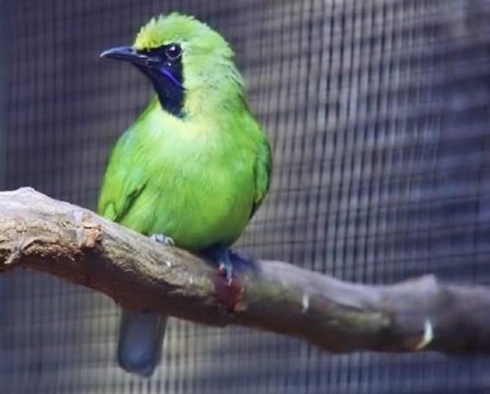 Gambar Burung Cucak Ijo Mini