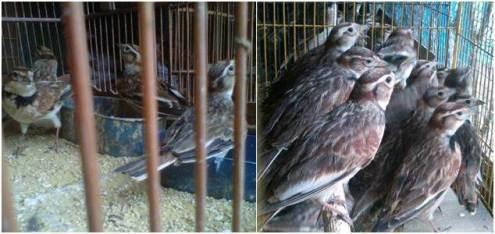 Pakling ombyokan di pasar burung