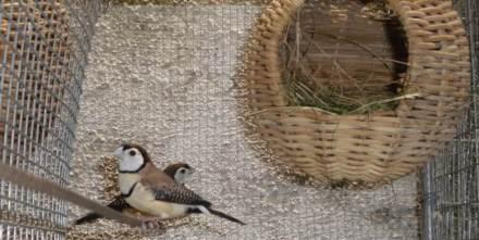 Menangkar owl finch menggunakan sangkar soliter