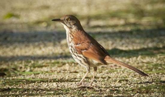 Brown thrasher burung yang menjadi simbol negara bagian Georgia