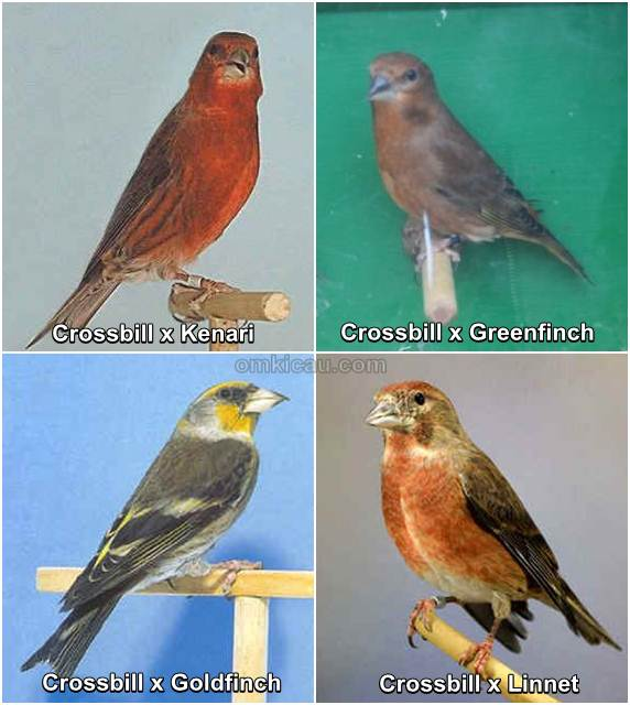 Burung hibrida hasil perkawinan silang menggunakan crossbill sebagai indukan