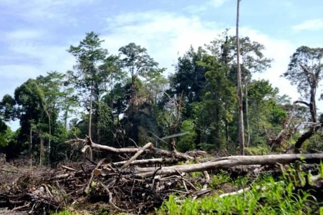 Kegagalan mengatasi pembalakan liar dan kerusakan hutan menjadi salah satu penyebab semakin terancamnya beberapa jenis burung di Indonesia