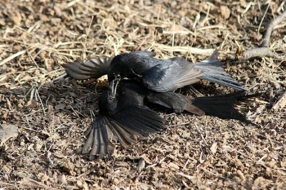 Srigunting hitam