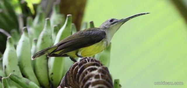 Burung pijantung di pohon pisang