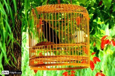 Burung bakalan susah jinak