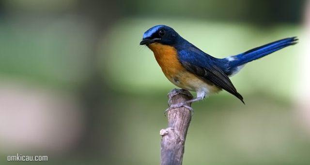 Ragam video dan suara asli burung sulingan / tledekan