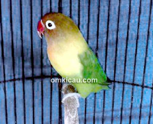 Lovebird Nakulo