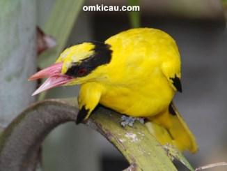 Burung kepudang kuduk-hitam