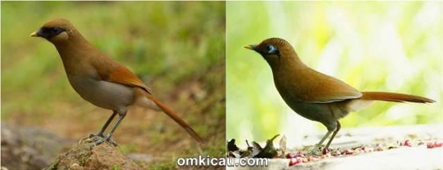 Burung samho