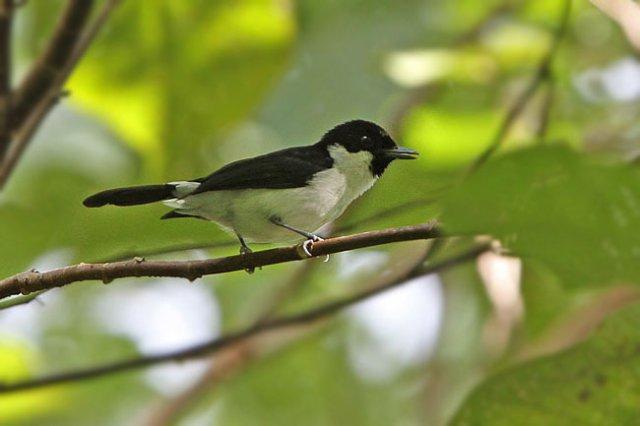 Meski berstatus kritis namun kehicap boano tidak termasuk jenis burung yang dilindungi