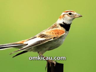 Mongolian lark atau bailing burung yang sejak awal tahun tahun 2014 ini mulai naik daun
