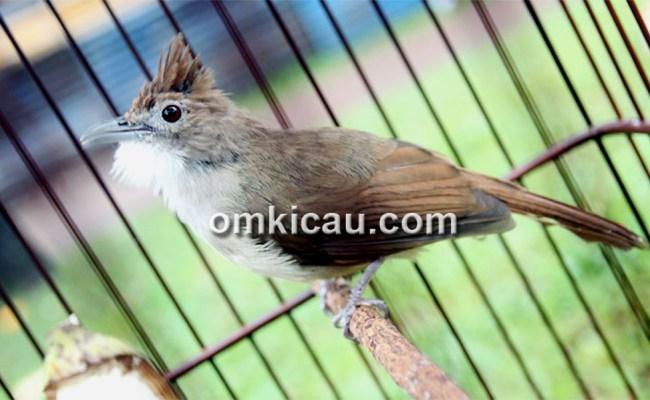 Menyiapkan Burung Cucak Jenggot Agar Siap Lomba Om Kicau Cute766