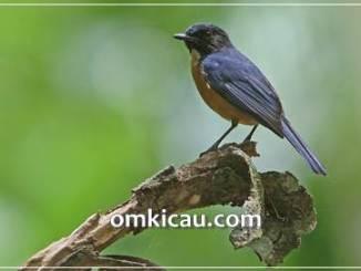 Kicauan burung sikatan tanah-jampea