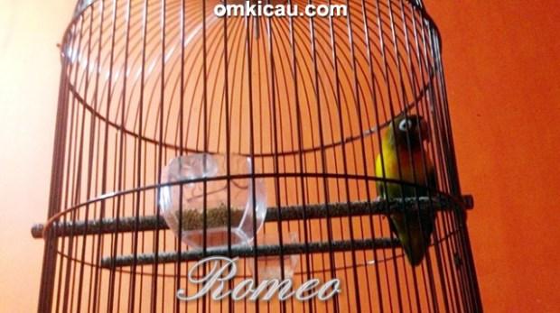 Lovebird Romeo