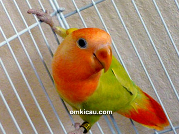 tips mengatasi lovebird ngeruji-1
