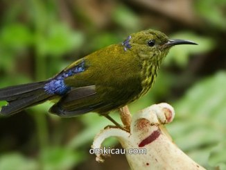 burung-madu rimba atau Purple-naped sunbird (Hypogramma hypogrammicum)