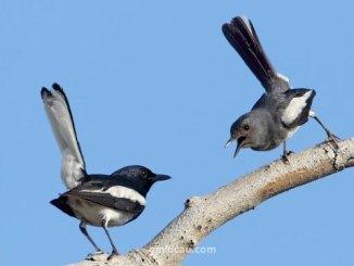 Cara mudah menjodohkan sepasang burung kacer