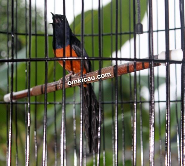 Murai blacktail Klewang