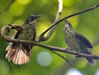 Burung ciungair coreng kalimantan