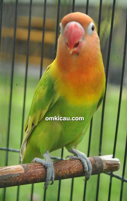 Lovebird New JJ