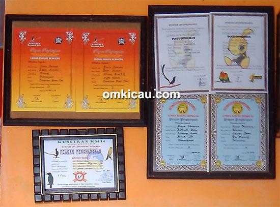 murai blacktail Putra Pantura2