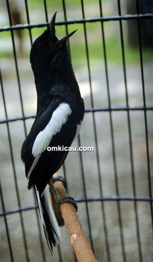 Kacer Black Zerro