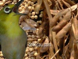 Pakan racikan berbahan dasar tepung kedelai untuk burung pleci dan lainnya