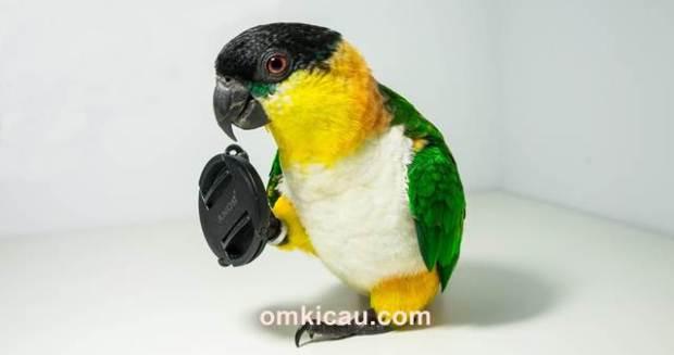 Black headed caique salah satu burung paruh bengkok yang cukup digemari di mancanegara termasuk Indonesia