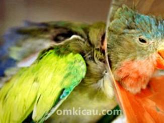 Burung yang gemar cabut bulu bisa diatasi dengan menggunakan kerah khusus burung