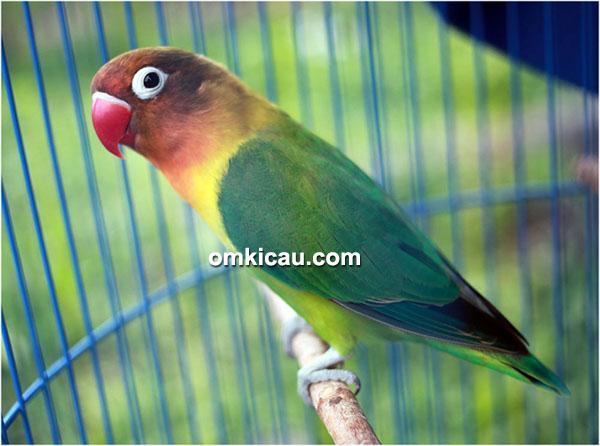 Lovebird Sinchan