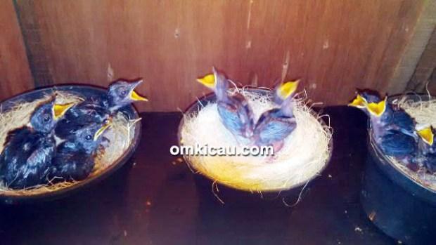 Breeding murai batu Dome BF Bogor