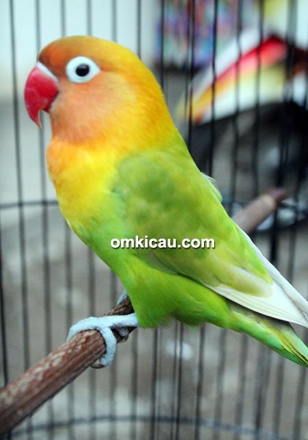 Lovebird Deborah