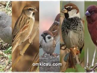 Lima jenis burung gereja dan suaranya untuk masteran