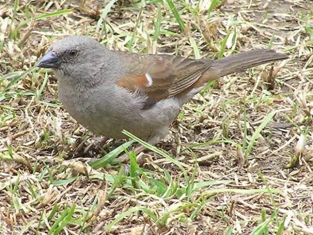 Swainson sparrow