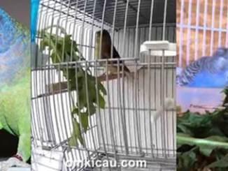 Burung peliharaan yang mengkonsumsi daun dandelion