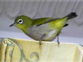 Membuat pakan racikan untuk pleci dan burung lainnya