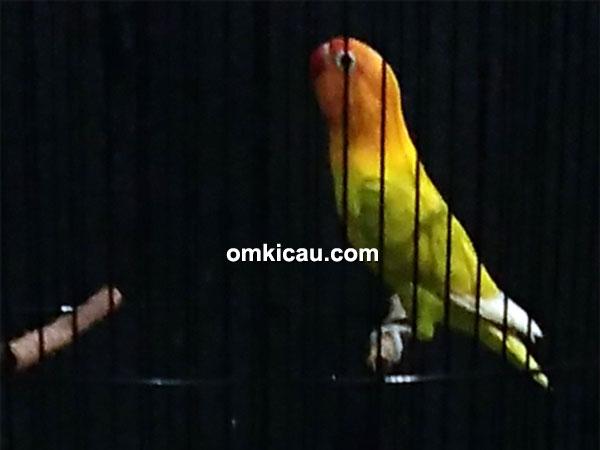 lovebird Bonex milik Om Fauna