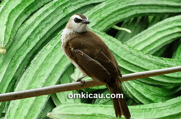 Beberapa jenis pakan tertentu dipercaya bisa membuat gacor burung trucukan