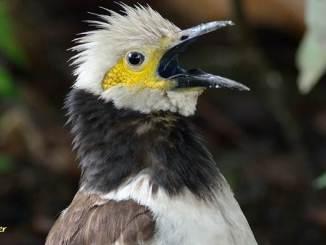 Selain pandai meniru suara kicauan burung lainnya, jalak hongkong terkenal dengan kemampuannya meniru suara manusia