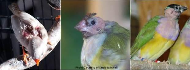 Burung finch yang alami kebotakan