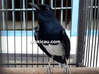 Kacer Black Jack