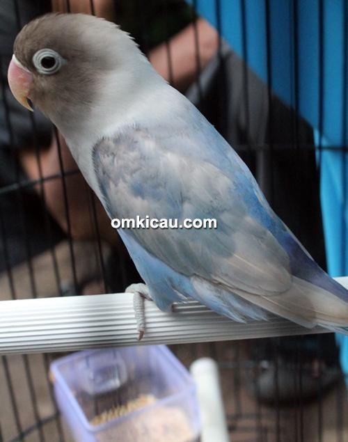Lovebird Roro Jongrang