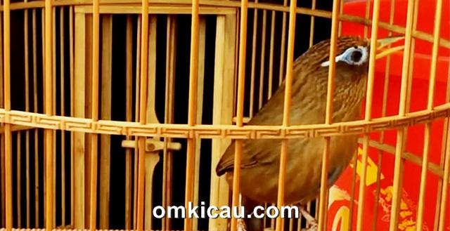 Burung hwamei adalah burung petarung