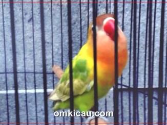 lovebird paud