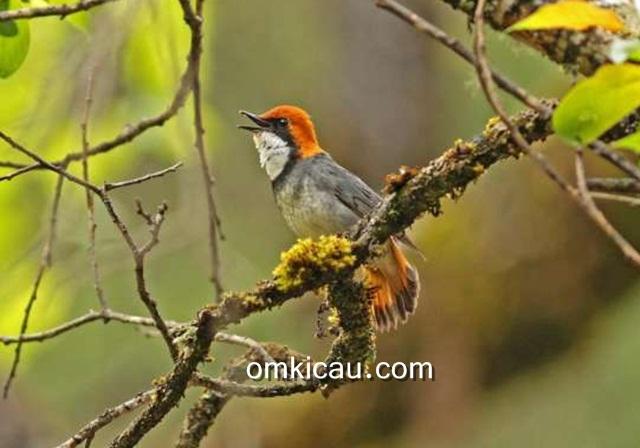 Burung rufous-headed robin jantan di Provinsi Sichuan, China