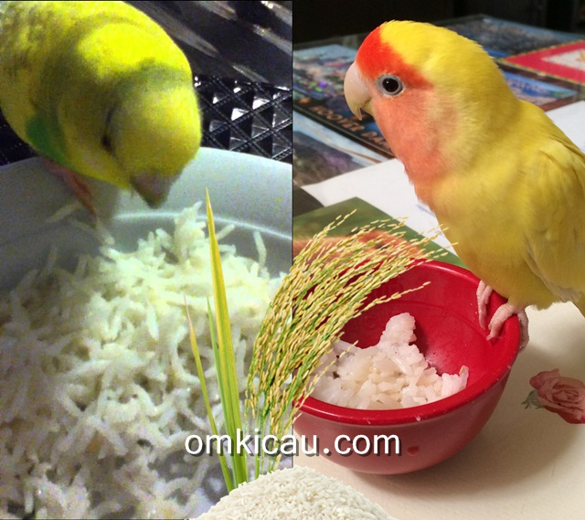 Burung peliharaan yang sedang menyantap nasi