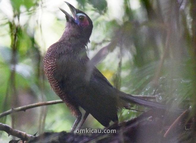 Burung tokhtor sumatera