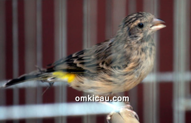 Burung blackthroat / Yellow-rumped seedeater