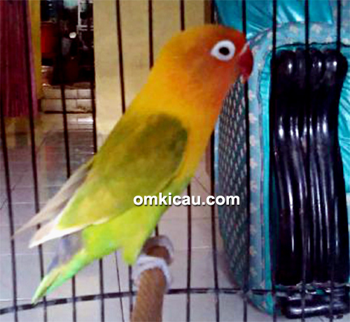 Lovebird Melody
