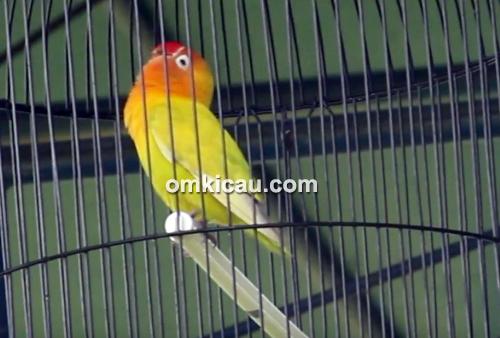 Lovebird Gombloh